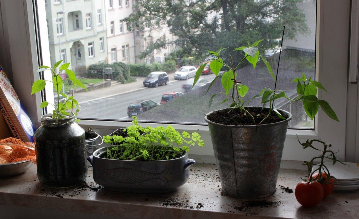 Chili- und Petersilienpflanzen auf einer Fensterbank
