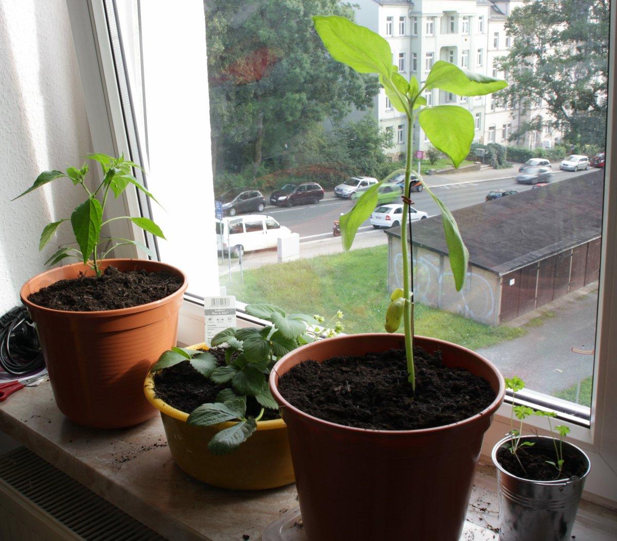 Chilipflanze, Erdbeere, Sonnenblume, Koriander auf einer Fensterbank